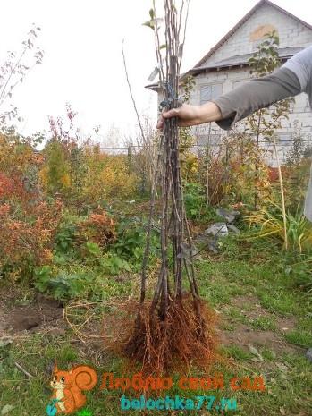 Как посадить яблоню весной, летом и осенью в сибири и на урале