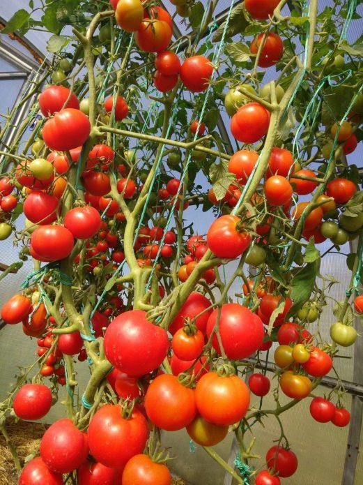 Почему возникает фитофтора на томатах и как с ней бороться?