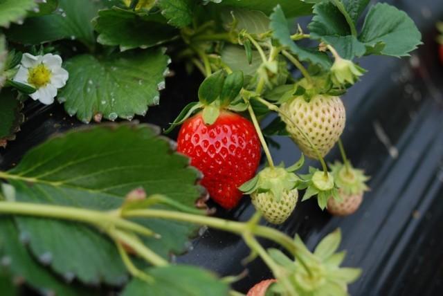 Клубника – это ягода или орех? разбираемся в ботанических тонкостях