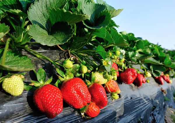 Безусая клубника: снимаем урожай до осени