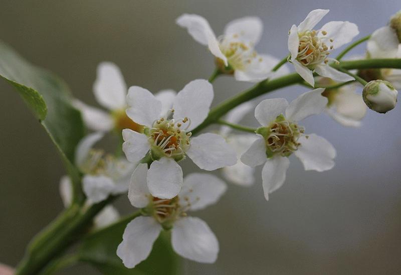 Черемуха: выращивание в саду, свойства, виды