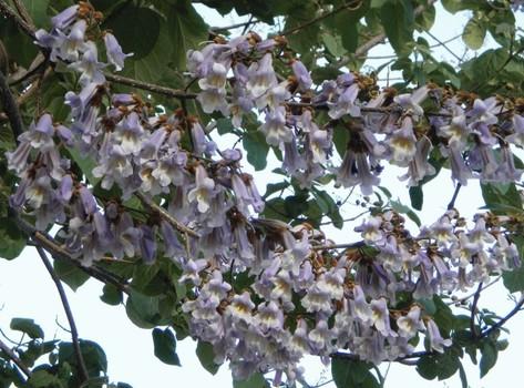 Дерево павловния. особенности выращивания из семян