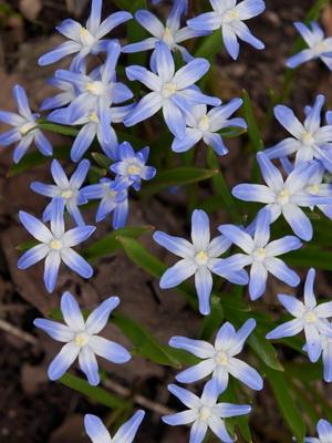 Многолетние луковичные садовые цветы: описание с названиями и фото