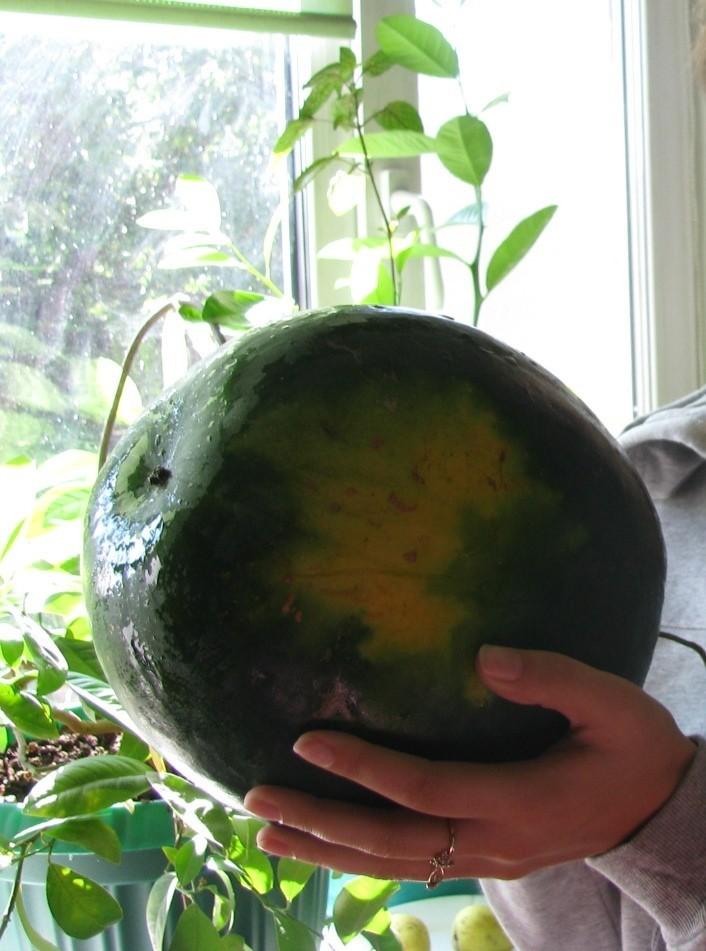 сколько растет арбуз