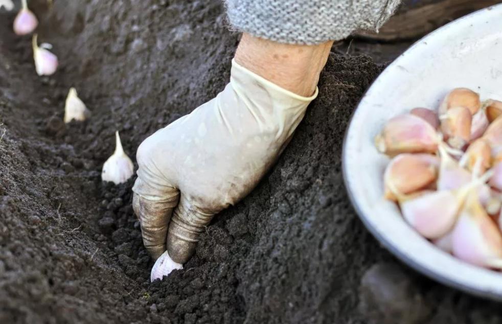 как правильно сажать чеснок осенью