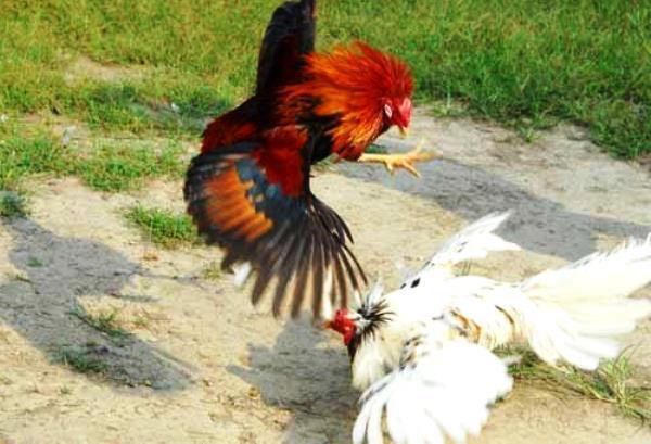 Как происходит спаривание петуха и курицы