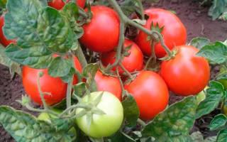 Всё про фитофтору на помидорах и как с ней бороться