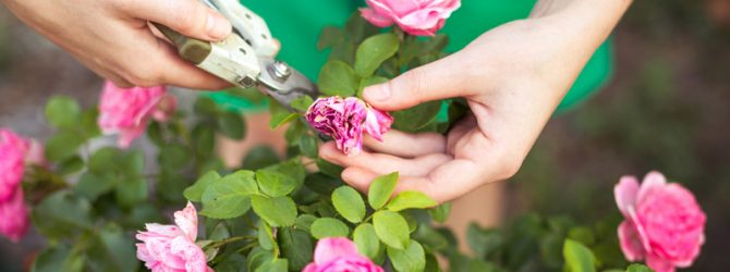 когда лучше обрезать розы осенью или весной