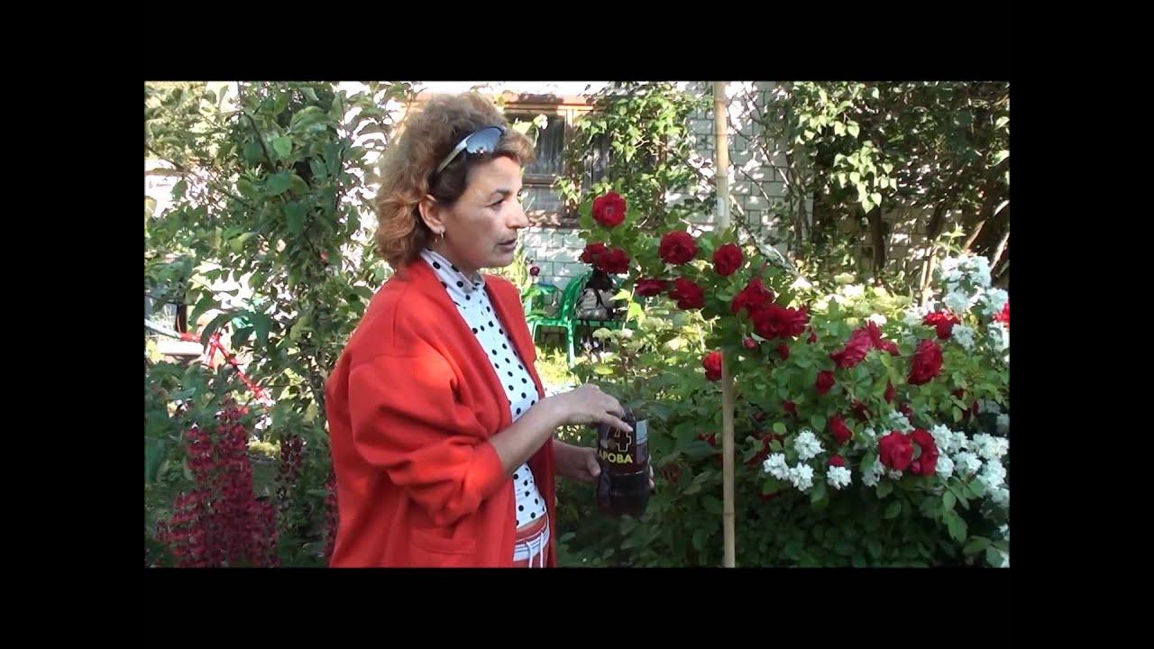 Как размножить плетистую розу: обзор основных методов