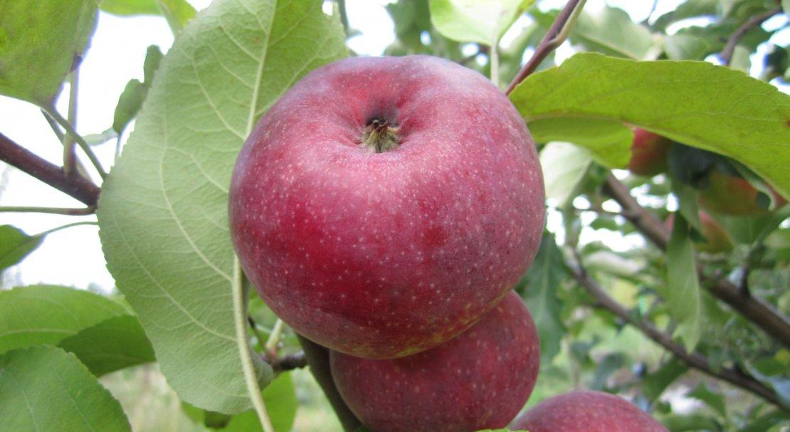 Яблоня лобо: описание сорта яблок, посадка и уход + фото, отзывы