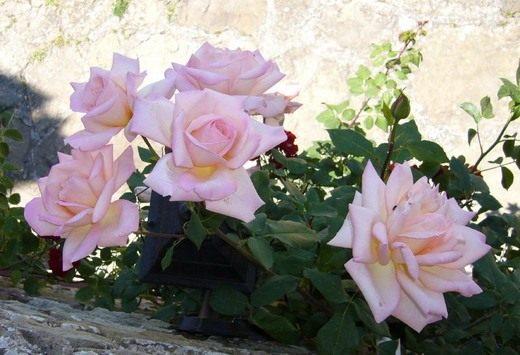 черенкование плетистой розы осенью