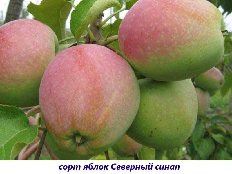 Яблоня коштеля описание сорта