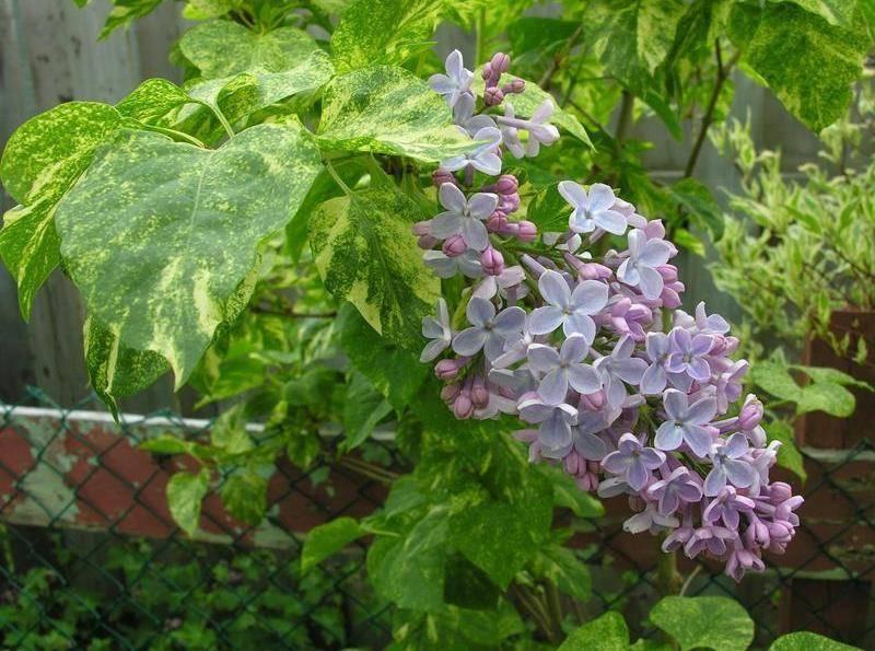 Сирень: крупноцветковые сорта для вашего сада
