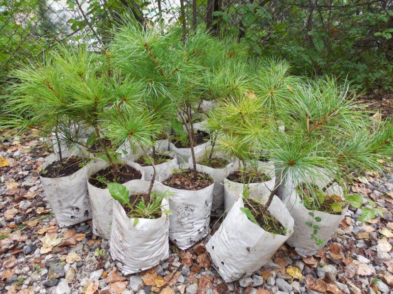 Кедр (cedrus): хвойное растение