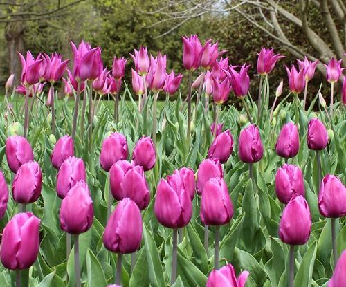 Тюльпаны: основные принципы выращивания   cельхозпортал