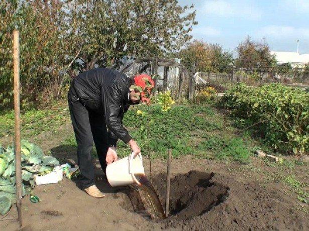 Посадка яблони осенью в ленинградской области: сроки посадки, когда и как сажать, какие яблони подходят – сад и огород своими руками