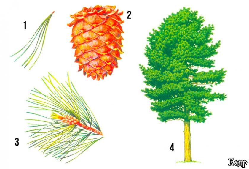 кедр фото дерева