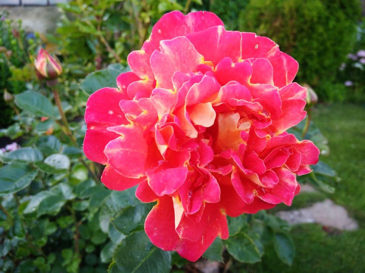 Синяя роза рапсодия ин блю: фото цветов, отзывы, описание и характеристика сорта, выращивание кустарника, посадка и уход, обрезка, подкормка