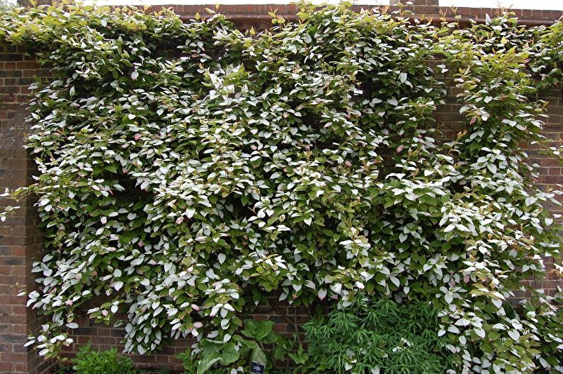 актинидия растение