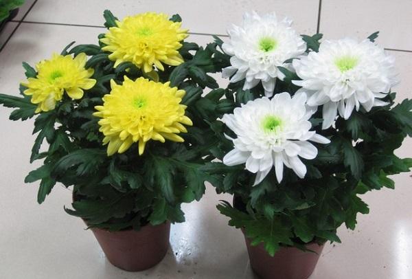 """Цветок """"женское счастье"""": уход в домашних условиях и размножение"""