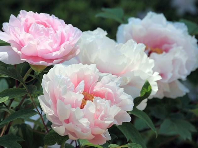 как выглядит цветок пион