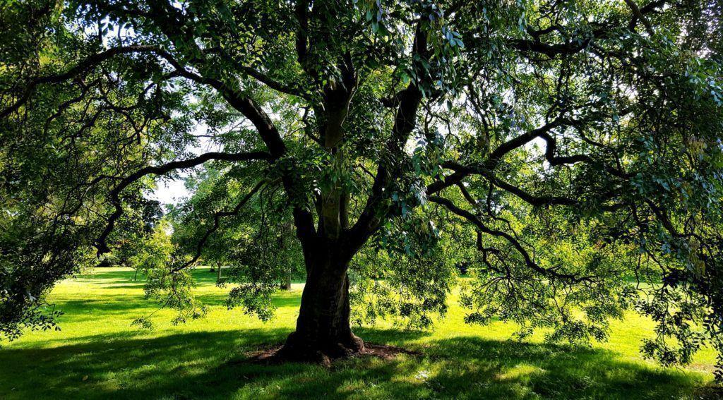 Как вырастить дерево ясень - нюансы посадки, размножения и ухода