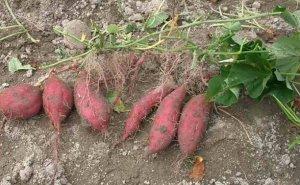 Сладкий картофель батат. его польза и вред для организма человека