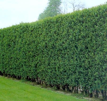 Характеристика бирючины обыкновенной — выращивание и уход в открытом грунте