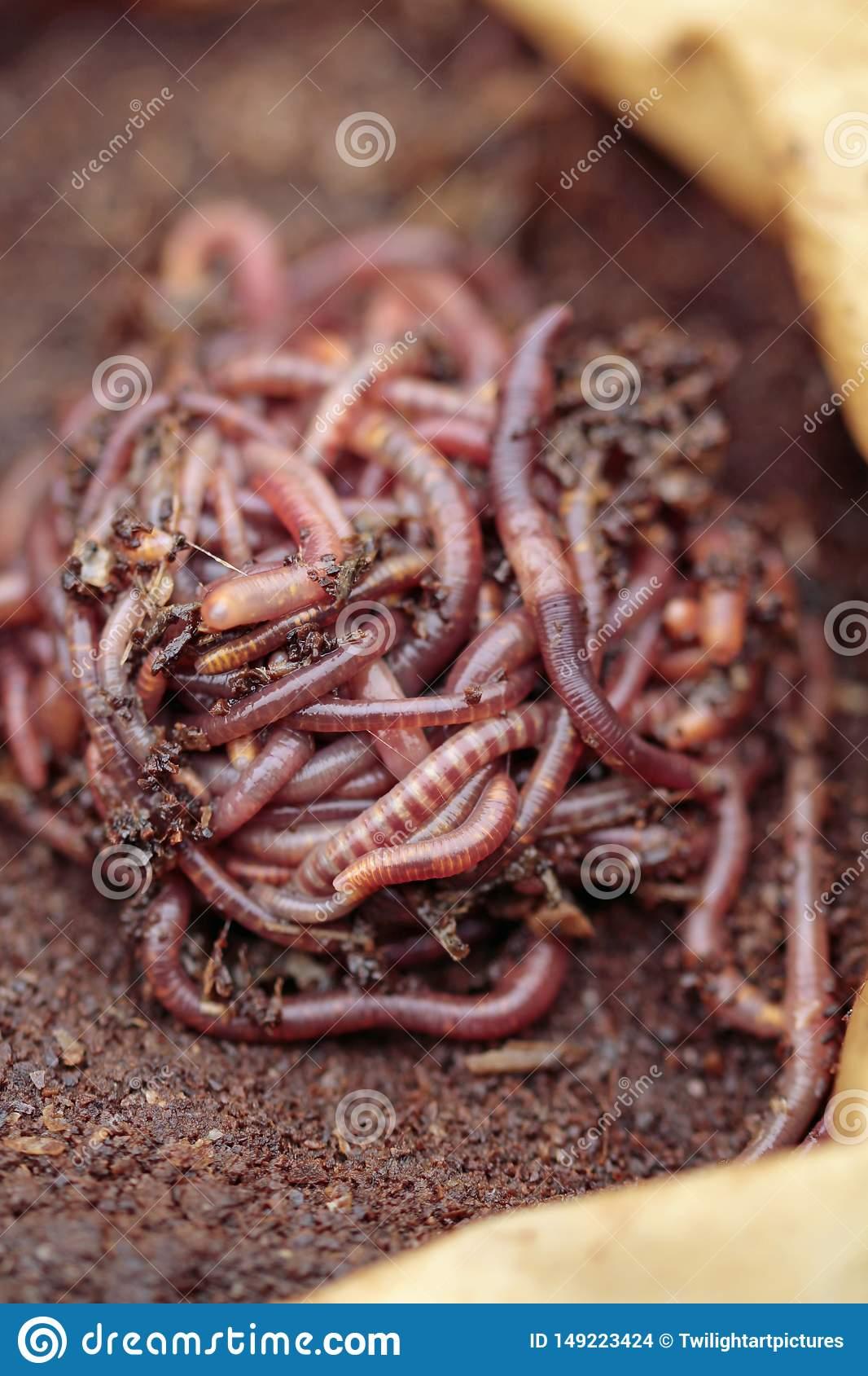 Разведение калифорнийских червей в домашних условиях как бизнес: условия и технология содержания, продажа оптом