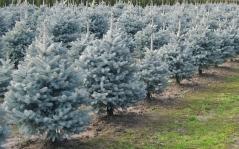 Голубые пихты: популярные сорта и советы по их выращиванию