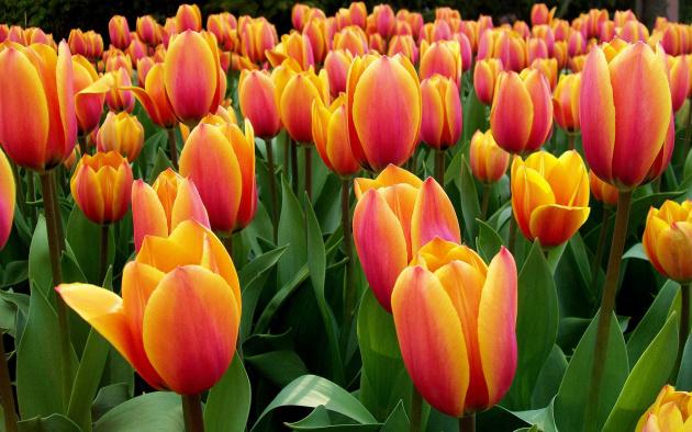 как красиво высадить тюльпаны