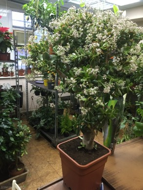 Денежное дерево: подкормка, чем удобрять толстянку весной или зимой