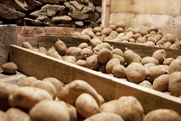 Правила хранения картофеля: можно ли его мыть перед закладкой