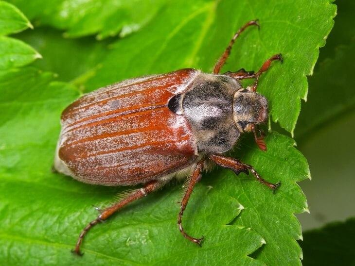 личинки майского жука фото