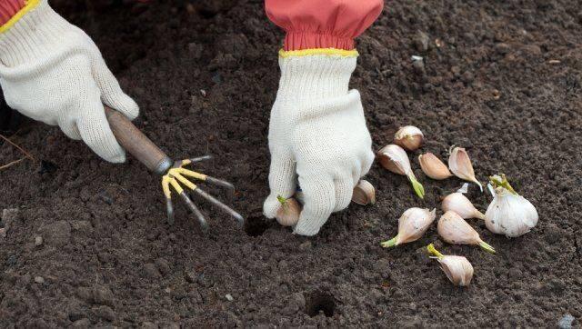 Посадка чеснока осенью под зиму: последовательность работ