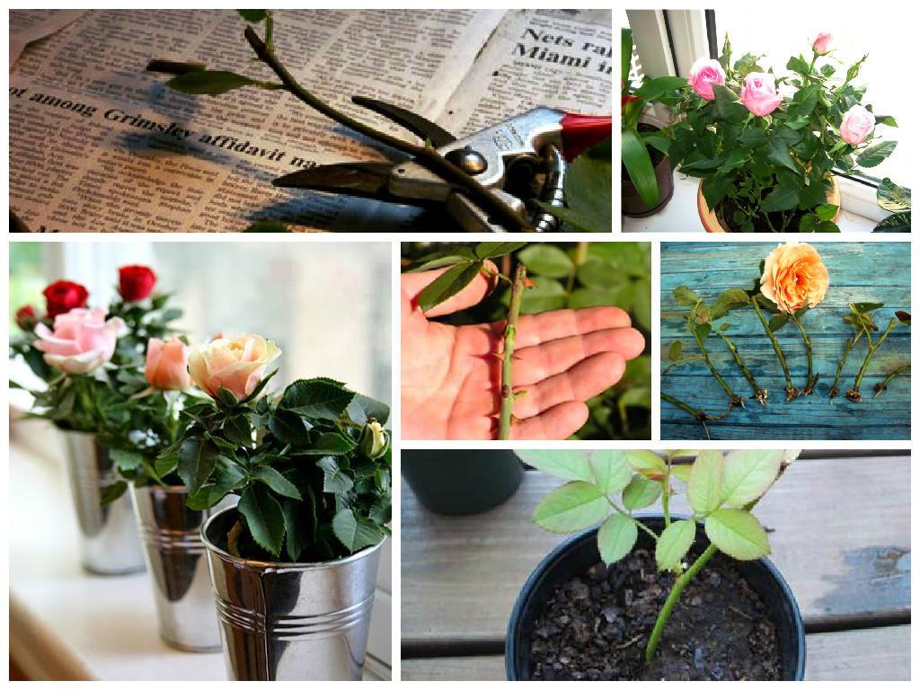 Как вырастить розу в картошке в домашних условиях