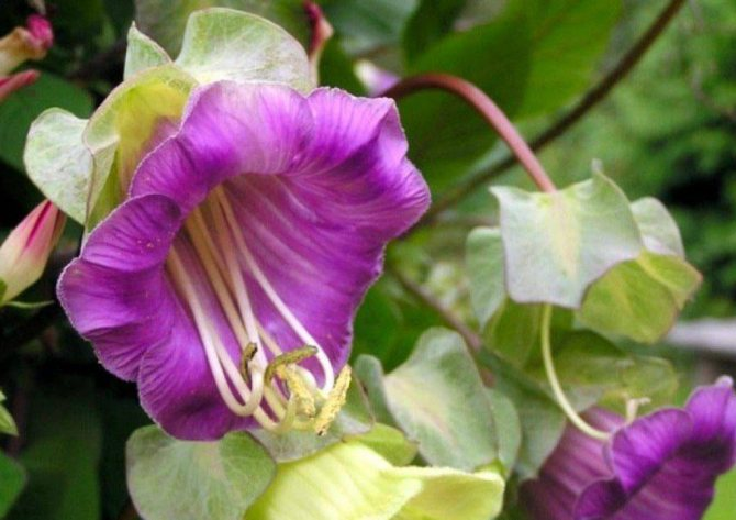 Цветок кобея – выращивание из семян. посадка и уход за кобеей. описание, виды, фото