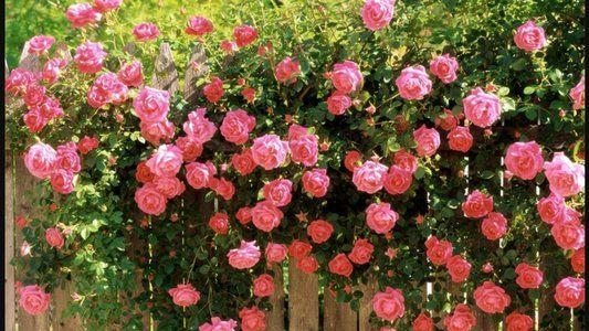 как подготовить розы к зимовке на урале