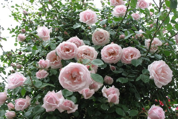 8 способов размножения роз