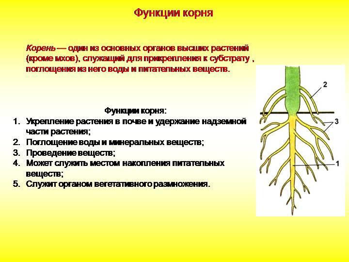 что такое корневая система в биологии
