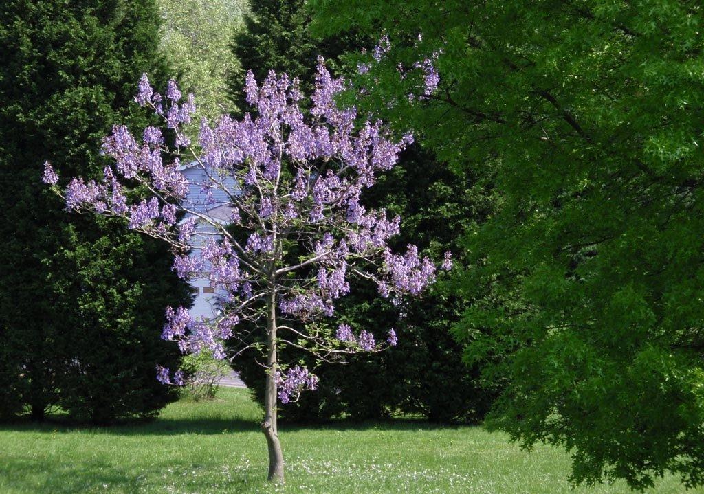 павлония растение