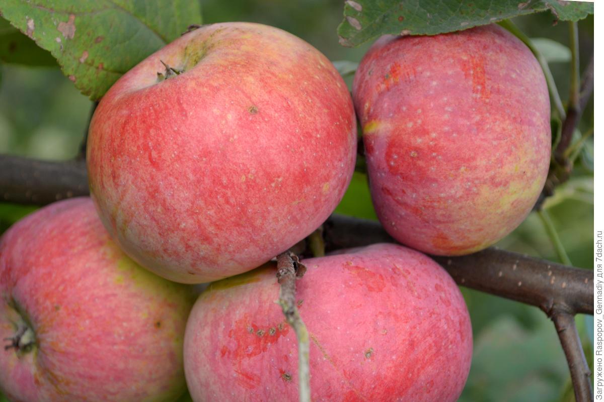 Зимний сорт яблок (31 фото): самые зимостойкие яблони для сибири и средней полосы, описание и отзывы о сортах «красавица» и «московское зимнее»