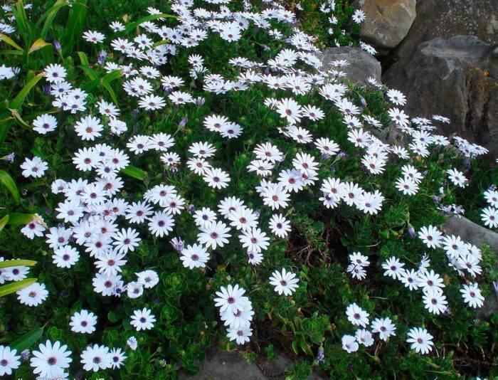 Остеоспермум: посадка и уход в открытом грунте, фото экзотического цветка из семейства астровые
