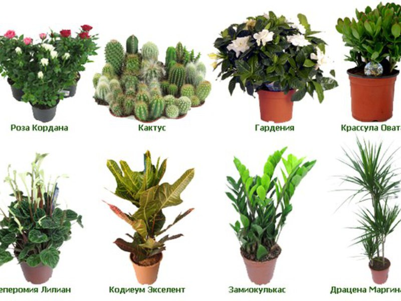 комнатные растения не цветущие