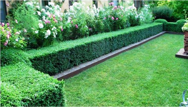 Кизильник блестящий – яркая декорация сада