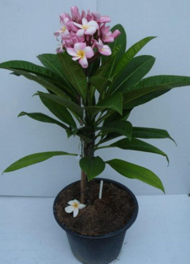 Магия цветка «женское счастье». приметы и суеверия, связанные со спатифиллумом