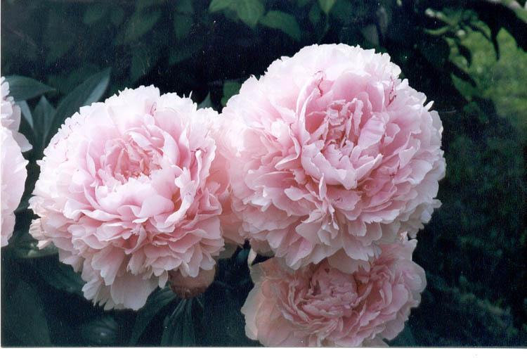розовидные пионы фото