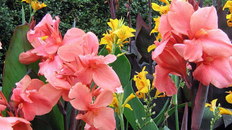 канны цветы выращивание и уход