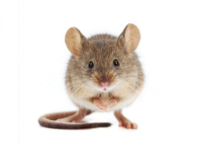 в каком утеплителе не заводятся мыши