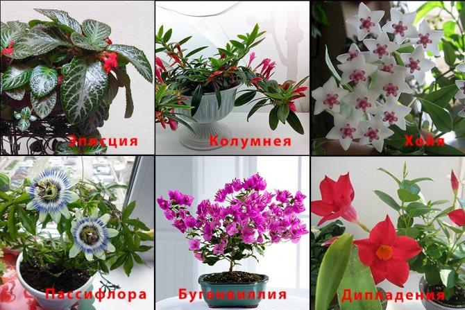 Неприхотливые вьюнки. выращивание и особенности. названия, фото — ботаничка.ru